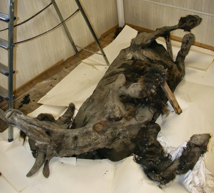 yukagir_bison_mummy